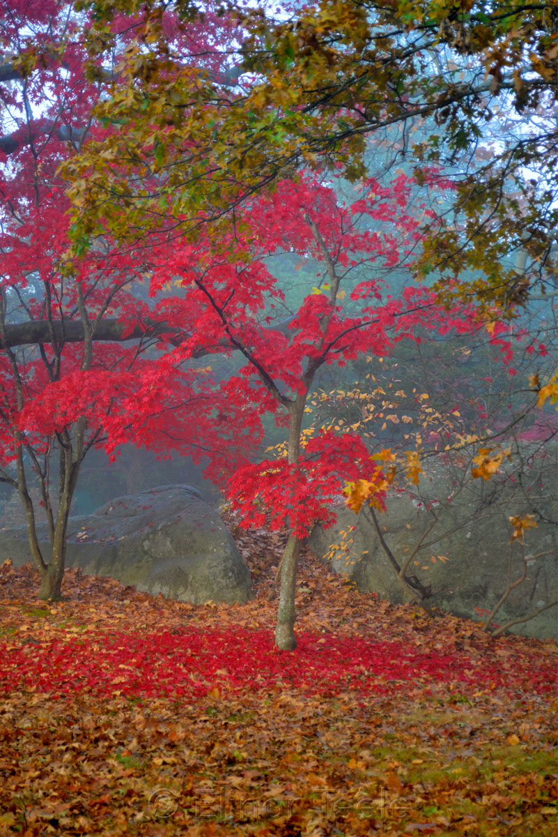 Red Maple - November Fog