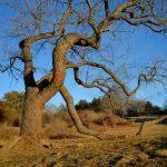 Lone Tree - March Light 1