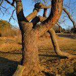 Lone Tree - March Light 3