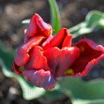 Rococo Tulip in April