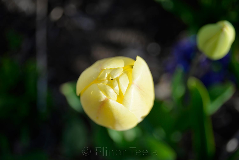 Yellow Tulip in April