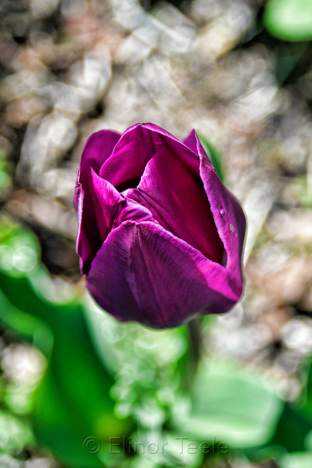 Purple Tulip - Dramatic