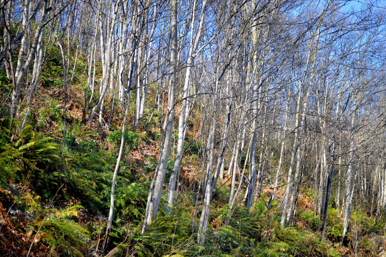 Birches on Tobin's Track